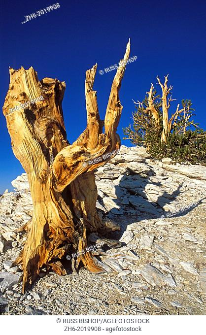 Ancient Bristlecone pines in the Patriarch Grove, Ancient Bristlecone Pine Forest, Inyo National Forest, White Mountains, California USA