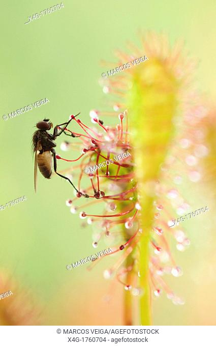 Fly trapped by an Oblong-leaved Sundew or Spoonleaf Sundew Drosera intermedia