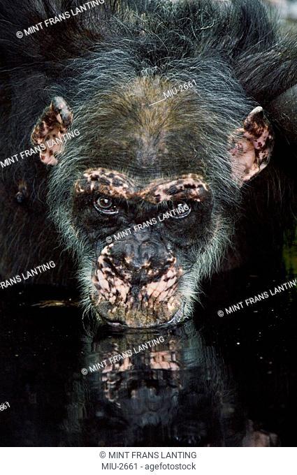 Chimpanzee old male drinking from waterhole, Pan troglodytes verus, Fongoli, Senegal