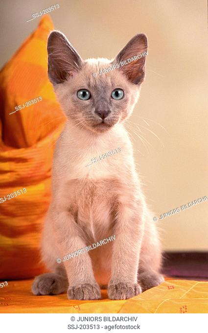 Tonkinese cat. Kitten sitting in front of a sofa cushion. Germany
