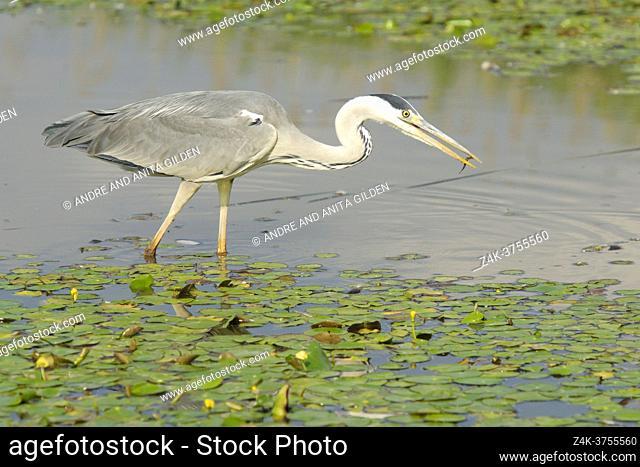 Grey Heron (Ardea herodias) with caught fish in water, Hortobagy national park, Hungary