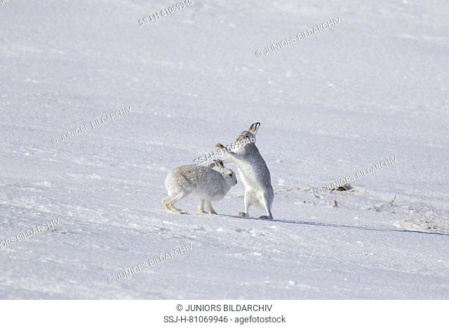 Mountain Hare (Lepus timidus). Pair winter coat (pelage) boxing in snow. Cairngorms National Park, Scotland