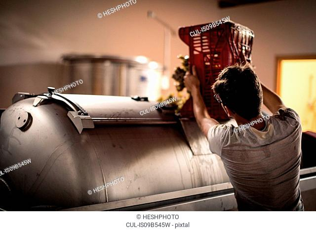 Young man emptying harvested grapes from vineyard crate into vat