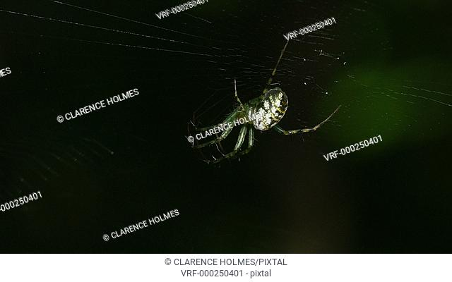 An female Orbweaver (Mangora spiculata) spider waits for prey at the center of its web