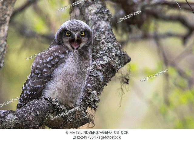 Juvenile Norhtern Hawk-Owl, Surnia ulula, sitting on a birch tree trunk, looking in to camera, with his beak open and begging for food, Gällivare