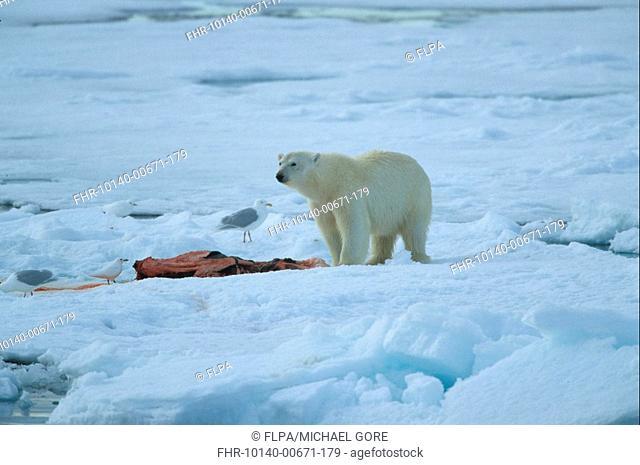 Polar Bear Ursus maritimus On ice floe - with prey - Gulls - Spitsbergen, Svalbard S