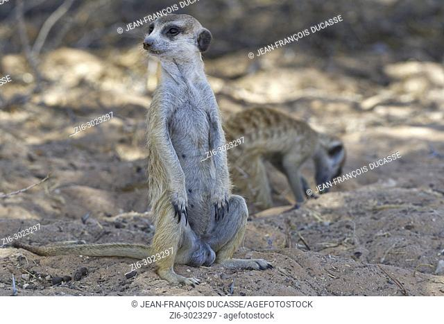 Two meerkats (Suricata suricatta), an adult male sitting, attentive, with another at back in search of food, Kgalagadi Transfrontier Park, Northern Cape