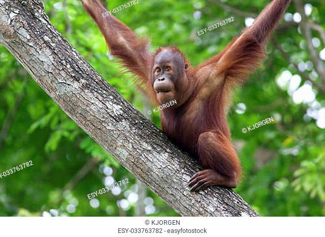 Orangutan making funny face in the jungle of Borneo, Malaysia