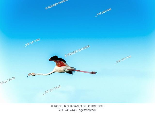 A lone Greater Flamingo flies overhead it's pink feathers bright against the blue sky