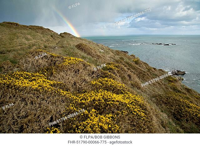 Common Gorse (Ulex europaeus) flowering, growing on clifftop habitat, with rainbow and rainclouds in background, Lizard Point, Lizard Peninsula, Cornwall