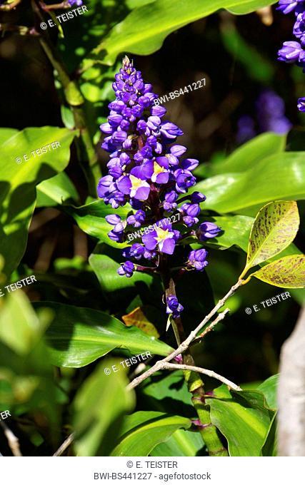 blue ginger (Dichorisandra thyrsiflora), blooming, Madeira
