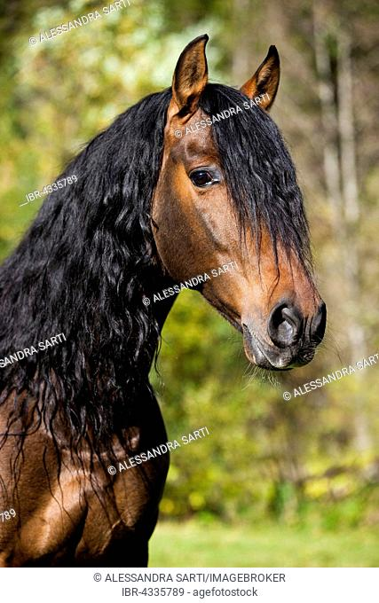 PRE horse, brown, portrait, Austria