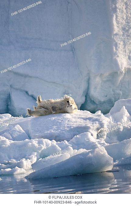 Polar Bear Ursus maritimus adult, with wet coat, rolling on iceberg, Austfonna, Nordaustlandet, Svalbard, june
