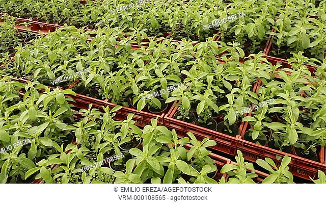 Production of Stevia Sweet plant. Balaguer, Lleida, Catalonia, Spain