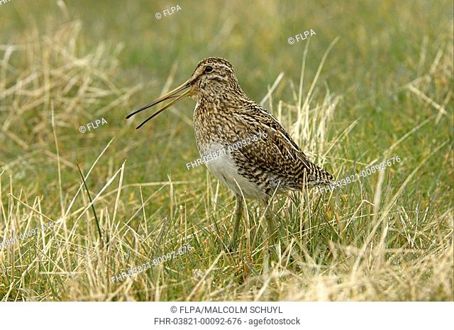 Magellanic Snipe Gallinago paraguaiae magellanica adult, calling, standing in grass, Sea Lion Island, Falkland Islands