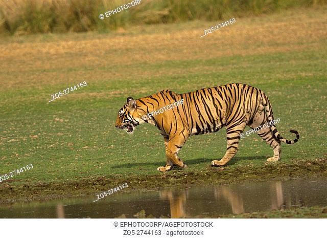 Tiger, Panthera tigris tigris. Pacman, Ranthambhore Tiger Reserve, Rajasthan, India