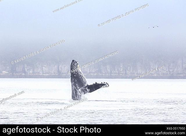 Humpback whale - Megaptera novaeangliae -, Kenai Fjords National Park, Alaska, U. S. A