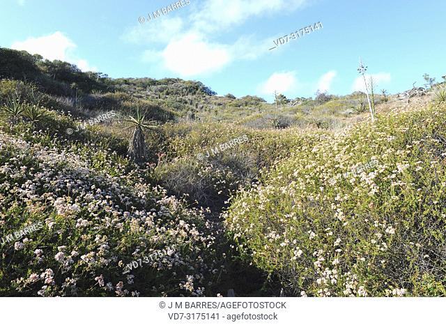 California buckwheat or Mojave buckwheat (Eriogon fasciculatum) is a shrub native to southwest USA and northwest Mexico. This photo was taken in Torrey Pines...