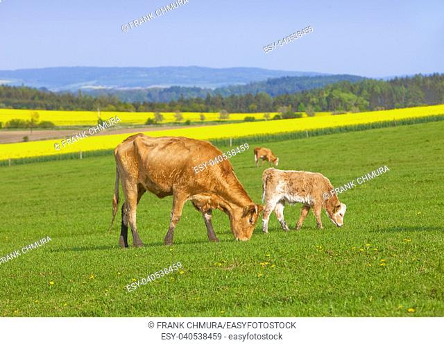 Czech Republic, Southern Bohemia - Cows Grazing on Grass Field in Spring
