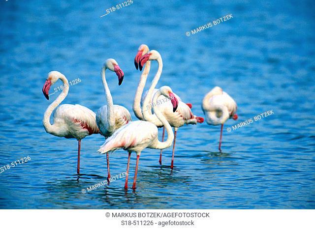 A group of greater Flamingos (Phoenicopterus ruber). Lake Bogoria. Kenya