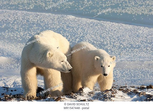 Two polar bears side by side on a snowfield in Manitoba