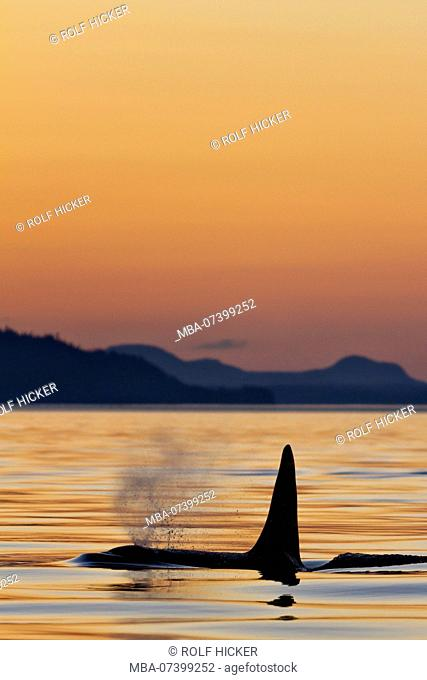 Northern resident killer whale (orca) male surfacing during sunset light in Johnstone Strait of northern Vancouver Island, British Columbia, Canada