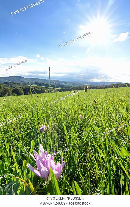 Maria-Anzbach, view in Vienna Woods, Herbstzeitlose (autumn crocus, meadow saffron, Colchicum autumnale), Wienerwald (Vienna Woods), Lower Austria, Austria