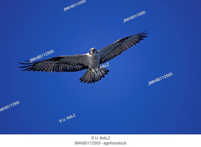 osprey, fish hawk (Pandion haliaetus), flying