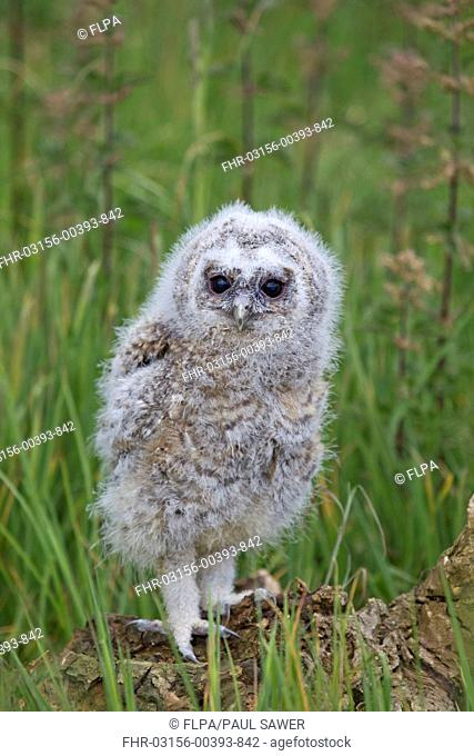 Tawny Owl Strix aluco chick, standing on stump, may captive