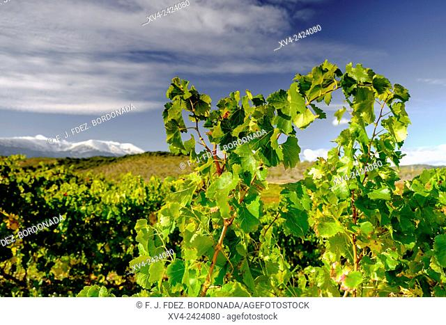 Veruela vineyard. Tarazona and Moncayo region, Aragon, Spain