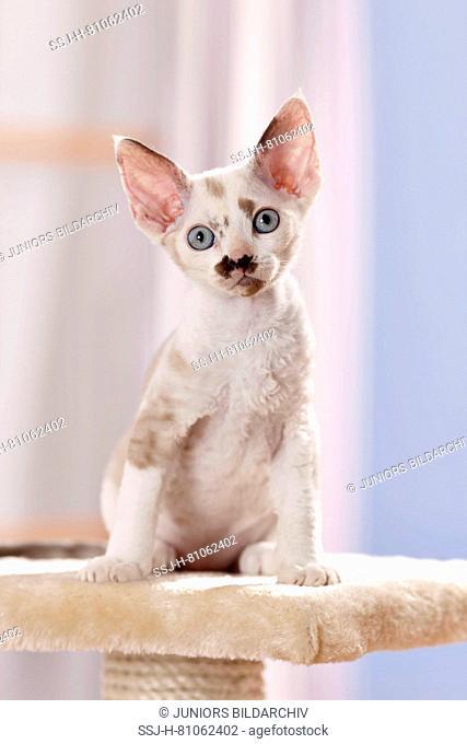 Devon Rex. Kitten sitting on a scratching post. Germany