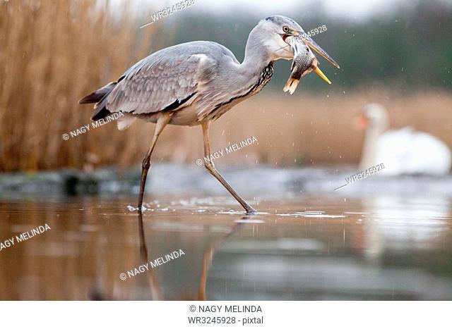 Grey heron fishing on lake, Pusztaszer National Park, Hungary, Europe