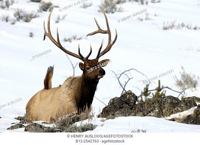 Elk, Wapiti Cervus canadensis, Bull, Yellowstone, USA