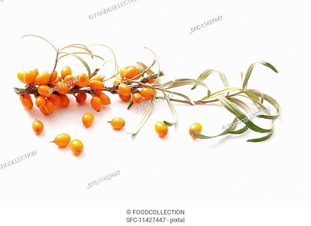 A sprig of sea buckthorn berries