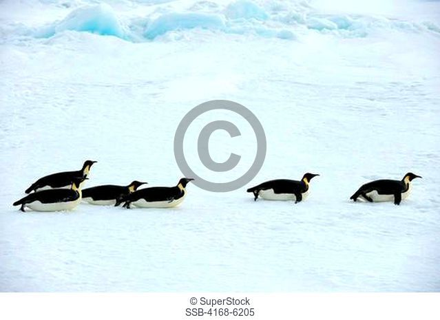 ANTARCTICA, WEDDELL SEA, NEAR SNOW HILL ISLAND, EMPEROR PENGUINS Aptenodytes forsteri ON SEA ICE ON THE WAY TO OPEN WATER, TOBOGGANING