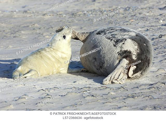 Grey seal, Helgoland-Duene, Germany