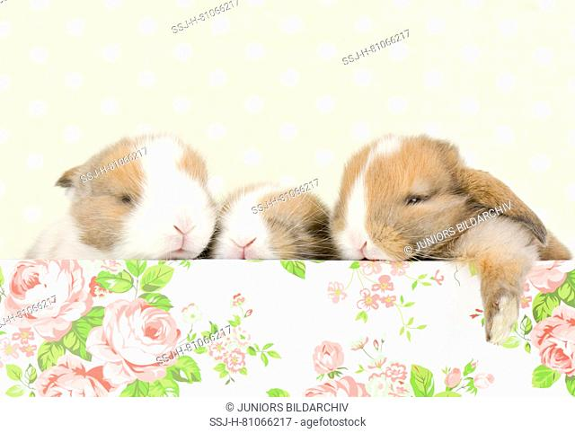 Dwarf Lop-eared Rabbit. Three babies (13 days old) in a box with flower print. Studio picture. Germany