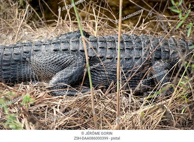 View of alligator's mid section