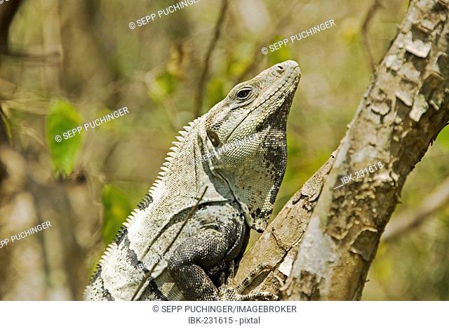 Iguan climbing a tree Edzna Mexico
