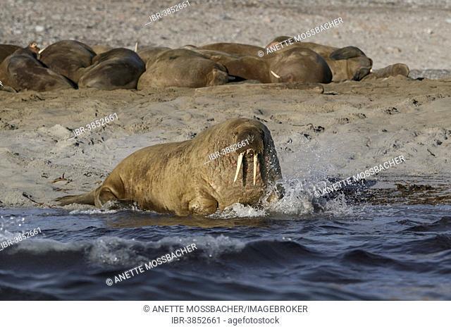 Walruses (Odobenus rosmarus), herd on sand beach, Spitsbergen, Svalbard Archipelago, Svalbard and Jan Mayen, Norway