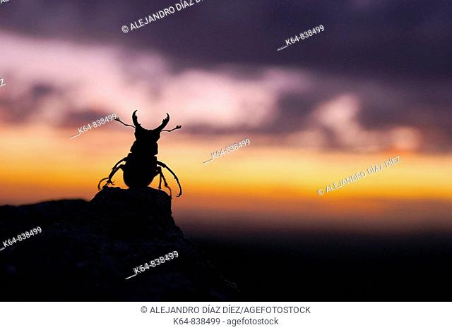 Stag beetle, Lucanus cervus, male in sunset