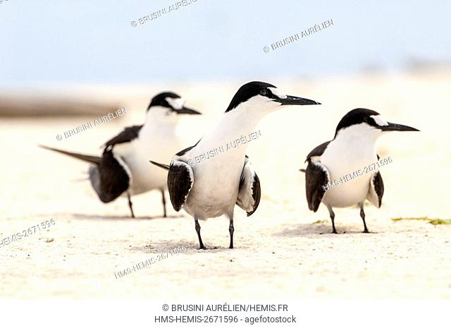 Seychelles, Bird Island, 3 terns on the white sandy beach among the colony of 1.5 million sooty terns (Onychoprion fuscatus), in March