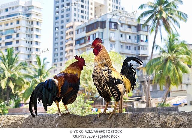 Roosters, Banganga area, Mumbai, India