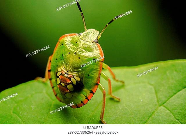 Macro Photo Of A Multicolored Spotted Shield Bug