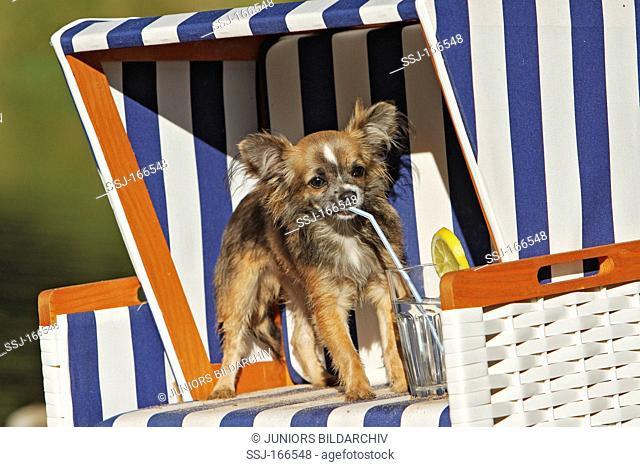 Chihuahua dog - puppy on beach chair