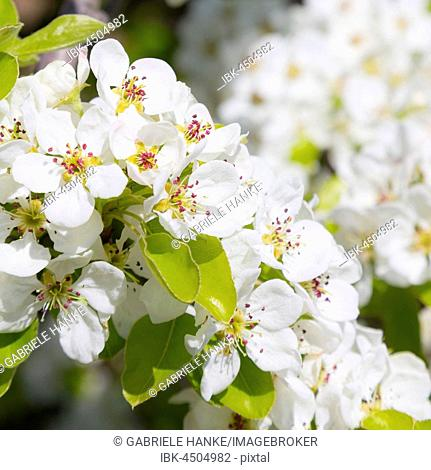 Apple (Malus), apple blossom, Saxony, Germany