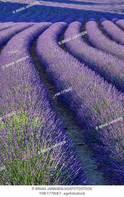 Curvey Lavender Field near Roussillon in the Luberon, Provence France