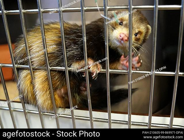 04 June 2021, Hamburg: A ferret climbs along the bars in its cage. Animal shelters in the North fear a wave of surrenders of pets acquired in the Corona...