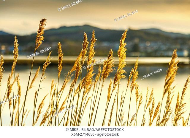 Common reeds (Phragmites australis). Santoña, Victoria and Joyel Marshes Natural Park. Colindres, Cantabria, Spain