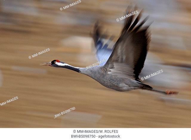 common crane (Grus grus), flying, Sweden, Vaestergoetland
